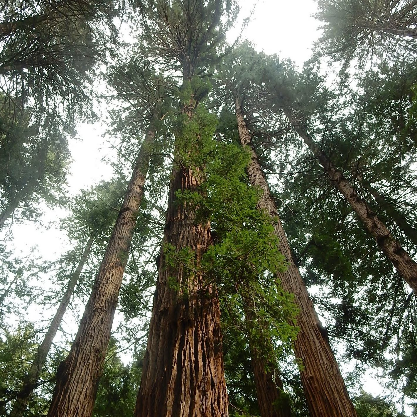 A Ballad For Muir Woods Fall In Love With The Majestic